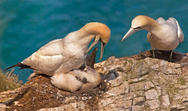Gannet Family. A female Northern Gannet feeding her chick with the male Gannetwatching closely Royalty Free Stock Image