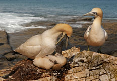 Gannet Feeding her Chick. A female Northern Gannet feeds her chick as the male watches Royalty Free Stock Image