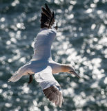 Gannet in fight. Gannet fling over sea with wings spread Royalty Free Stock Image