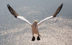 Gannet Flieing северное Стоковое Изображение RF