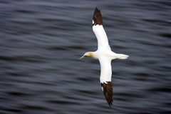 Gannet in flight Stock Image