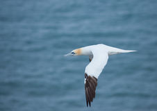 Gannet in flight Royalty Free Stock Photography