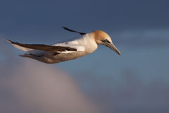 Gannet in flight Stock Photography