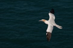 Gannet in flight Royalty Free Stock Images