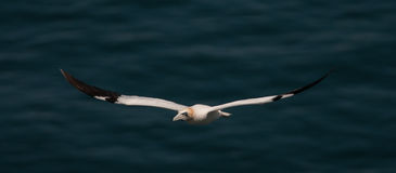 Gannet in flight Royalty Free Stock Image