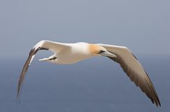 Gannet in flight. Cape Kidnappers, New Zealand Royalty Free Stock Image