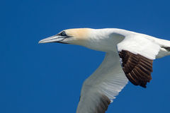 Gannet in flight. Detailed gannet in flight with blue background Royalty Free Stock Photo