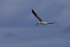 Gannet in flight Stock Photography
