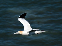 Gannet in flight. Gannets are seabirds comprising the genus Morus, in the family Sulidae, closely related to boobies. They have a maximum lifespan of up to 35 Stock Images