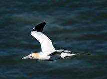 Gannet in flight. Stock Images