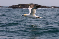 Gannet in flight low over sea. A Northern Gannet flying low over the sea as it returns to Grassholm Island during the breeding season Stock Photo