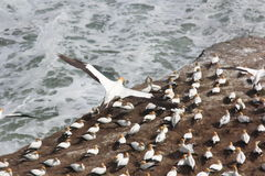 Gannet in flight over colony Royalty Free Stock Images