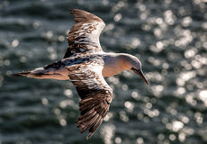 Gannet in flight Stock Images