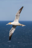 Gannet in flight Royalty Free Stock Photo