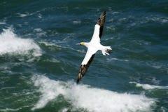 Gannet Flugwesen über Ozean lizenzfreie stockbilder