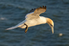 A gannet is flying. Above the sea Stock Image