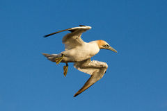 A gannet is flying. Above the sea Royalty Free Stock Photography