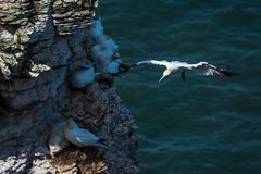 A  gannet flying  along the coastline of  bempton Cliffs, Yorkshire , UK. Gannets flying and sitting along the coastline at Bempton Cliffs in Yorkshire , UK Stock Photo