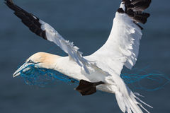 Gannet flying with blue nylon rope near island Helgoland, German. Gannet flying with blue nylon rope near German island Helgoland royalty free stock photography
