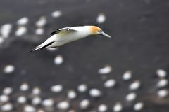 Gannet flying at the coast of Muriwai stock photos