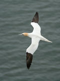 Gannet flying. Gannets are seabirds comprising the genus Morus, in the family Sulidae, closely related to boobies. They have a maximum lifespan of up to 35 Stock Images