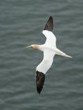 Gannet flying. Stock Images