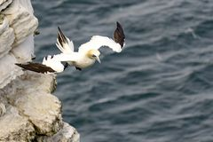 Gannet flying off cliffs, over sea. At Bempton cliffs, North Yorkshire, Uk Royalty Free Stock Image