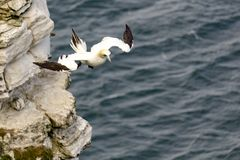 Gannet flying off cliffs, over sea. At Bempton cliffs, North Yorkshire, UK Royalty Free Stock Photography