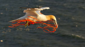 A gannet flying with a orange rope. In it's beak Royalty Free Stock Image
