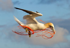 A gannet flying with a orange rope. In it's beak Stock Image