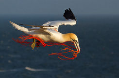 A gannet flying with a orange rope. In it's beak Royalty Free Stock Images