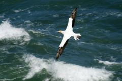 Gannet flying over ocean Royalty Free Stock Images