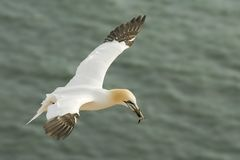 Gannet flying over the sea at sunset stock photography