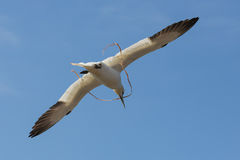 Gannet flying with rope near German island Helgoland. Gannet flying with rope near island Helgoland, Germany stock image