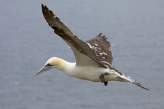 A Gannet flying on the thermals. Stock Images