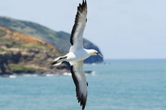 A Gannet Gliding Past The Cliff Tops Royalty Free Stock Photo