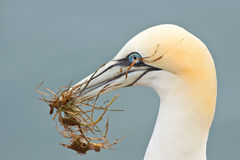 Gannet with grass Stock Image
