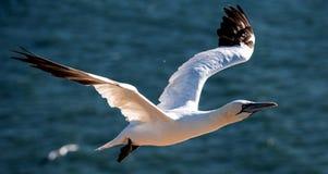 Gannet i flyg Arkivbild