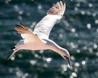 Gannet i flyg Arkivfoton