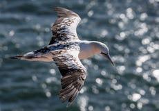 Gannet i flyg Fotografering för Bildbyråer