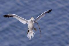 Gannet im Flug lizenzfreie stockbilder