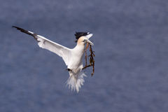 Gannet im Flug stockfoto