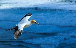 Gannet im Flug Lizenzfreies Stockfoto