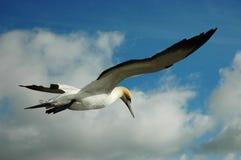 Gannet im Himmel Lizenzfreies Stockbild