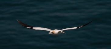 Free Gannet In Flight Royalty Free Stock Image - 25390266