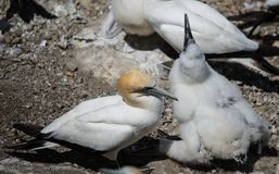 Gannet with its young - 2 Stock Images