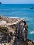 Gannet koloni @ Muriwai plaża, Auckland, Nowa Zelandia Obraz Royalty Free