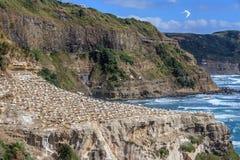 Gannet koloni siedlisko w Muriwai linii brzegowej Obraz Stock