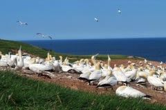 Gannet kolonia Zdjęcie Royalty Free