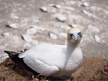 Gannet-Kolonie stockfotos